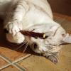 Matatabi Silvervine Catnip kattenstokjes Japan speelgoed kat goedkoop online kopen