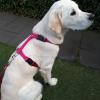 Hondentuig y-vorm golden retriever in het roze met roze riem