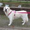 Speurtuig tuigje voor hond Y-tuig Y-vorm tuig roze