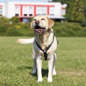 Y-harnas speurtuig tuigje voor hond Y-tuig Y-vorm tuig hondenharnas Y-model anti-trektuig labrador puppytuig