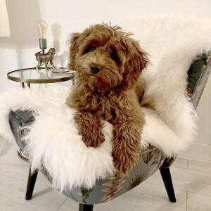 Mouflon Moeflon schapenvacht hondenmand hond puppy Sheepskin dog aanbieding vacht schaap wit doodle