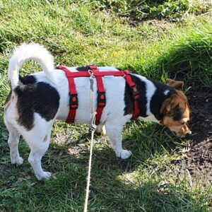 Anti-ontsnappingstuig houdini no escape proof 3 punts driepunts tuig angstige hond ontsnapt uit tuig halsband veiligheidstuig Jack russel boerenfox
