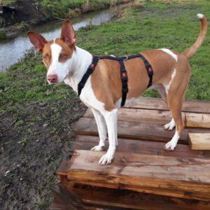Anti-ontsnappingstuig houdini no escape proof 3 punts driepunts tuig angstige hond ontsnapt uit tuig halsband veiligheidstuig Podenco galgo westpointer
