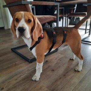 Anti-ontsnappingstuig houdini no escape proof 3 punts driepunts tuig angstige hond ontsnapt uit tuig halsband veiligheidstuig beagle