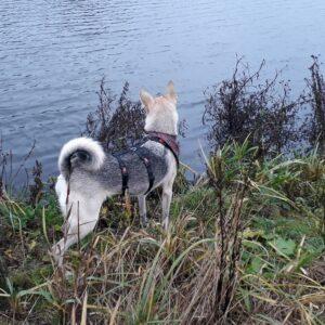 Anti-ontsnappingstuig houdini no escape proof 3 punts driepunts tuig angstige hond ontsnapt uit tuig halsband veiligheidstuig herdershond wolfshond