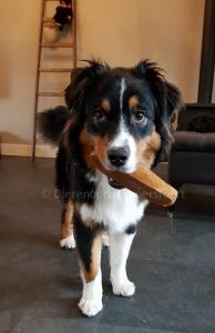 Australian Shepherd hond met allergie bot kluif kaas die lang meegaat