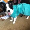 Badjas voor Border collie hond
