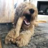 Koffieboom kauwwortel hard bot kluif hond van hout bot die lang mee gaat
