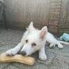 Koffieboom kauwwortel hard bot kluif hond van hout houten honden
