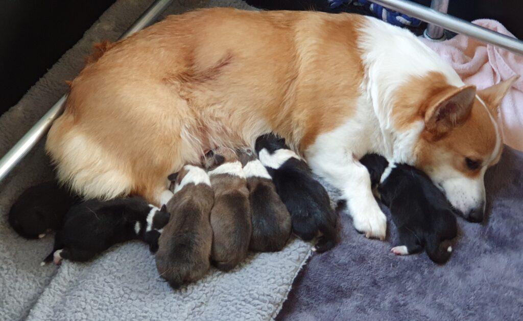 Corgi puppy's aan het slapen bij de moederhond - Hond Puppy laten janken piepen