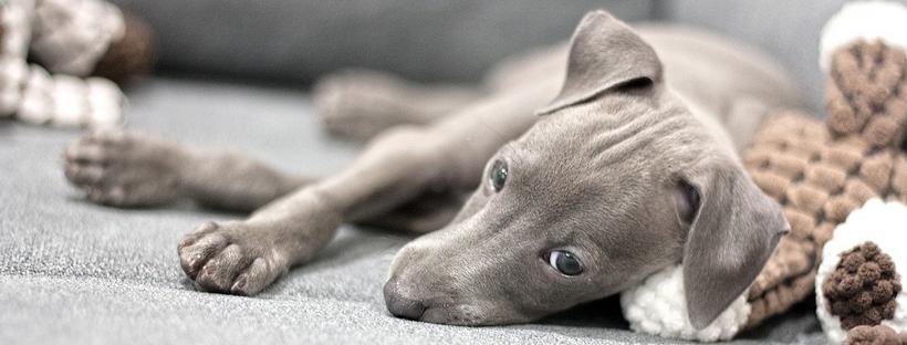 Puppy laten janken. Pup jankt, huilt of piept in bench tips verlatingsangst puppy alleen leren zijn trainen