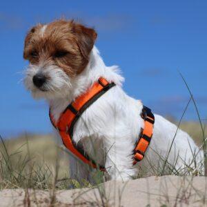 AnnyX Anny X anny-X hondentuig harnas tuigje tuig Y-vorm Y-model Y-tuig Jack russell Parson Terriër puppy kleine en grote hond gevoerd