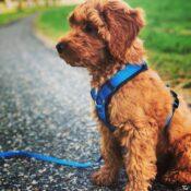 AnnyX Anny X anny-X hondentuig harnas tuigje tuig Y-vorm Y-model Y-tuig blauw meegroei labradoodle goldendoodle doodle puppy en volwassen hond