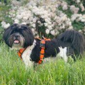 AnnyX Anny X anny-X hondentuig harnas tuigje tuig Y-vorm Y-model Y-tuig kleine honden hondjes gevoerd anti-trektuig op maat boomer shih tzu
