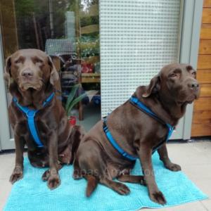AnnyX Anny-X gevoerd Y-tuig pupp ytuigje hondentuig tuigje hond Labrador