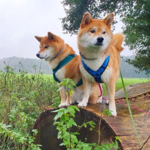 Luxe gevoerd Y-tuig beste hondentuig tuigje hond blauw petrol Akita