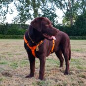 Luxe gevoerd Y-tuig beste hondentuig tuigje hond oranje labrador