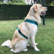 Luxe gevoerd Y-tuig beste hondentuig tuigje hond petrol groen golden retriever