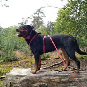 Luxe gevoerd Y-tuig beste hondentuig tuigje hond roze zwart Rottweiler sterke hond