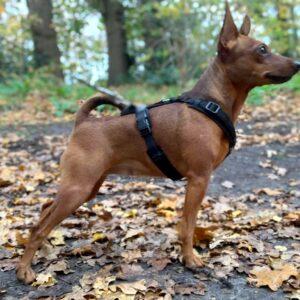 Luxe gevoerd Y-tuig beste hondentuig tuigje hond zwart kleine hond hondje