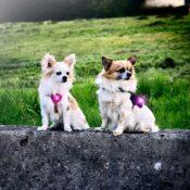 Verlichting lampje hond hondentuig halsband chihuahua kleine hondjes Orbiloc Dual dog veiligheidslampjes donker
