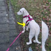 WAW Easy Dog walk anti-trek elastische bungee hondenriem anti shock trekveer met elastiek lijn Schokdemper hond riem met anti-trek tussenstuk halsband tegen trekken Labradoodle