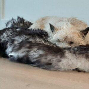 Schapenvacht vacht vachtje hond honden mouflon artrose mouflonvacht